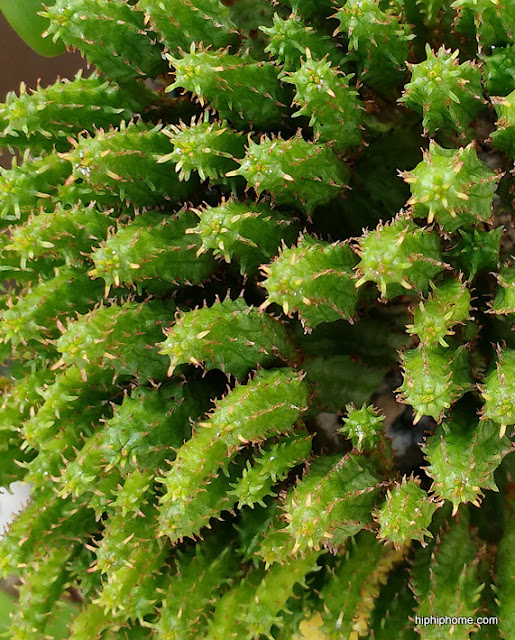 succulent cactus
