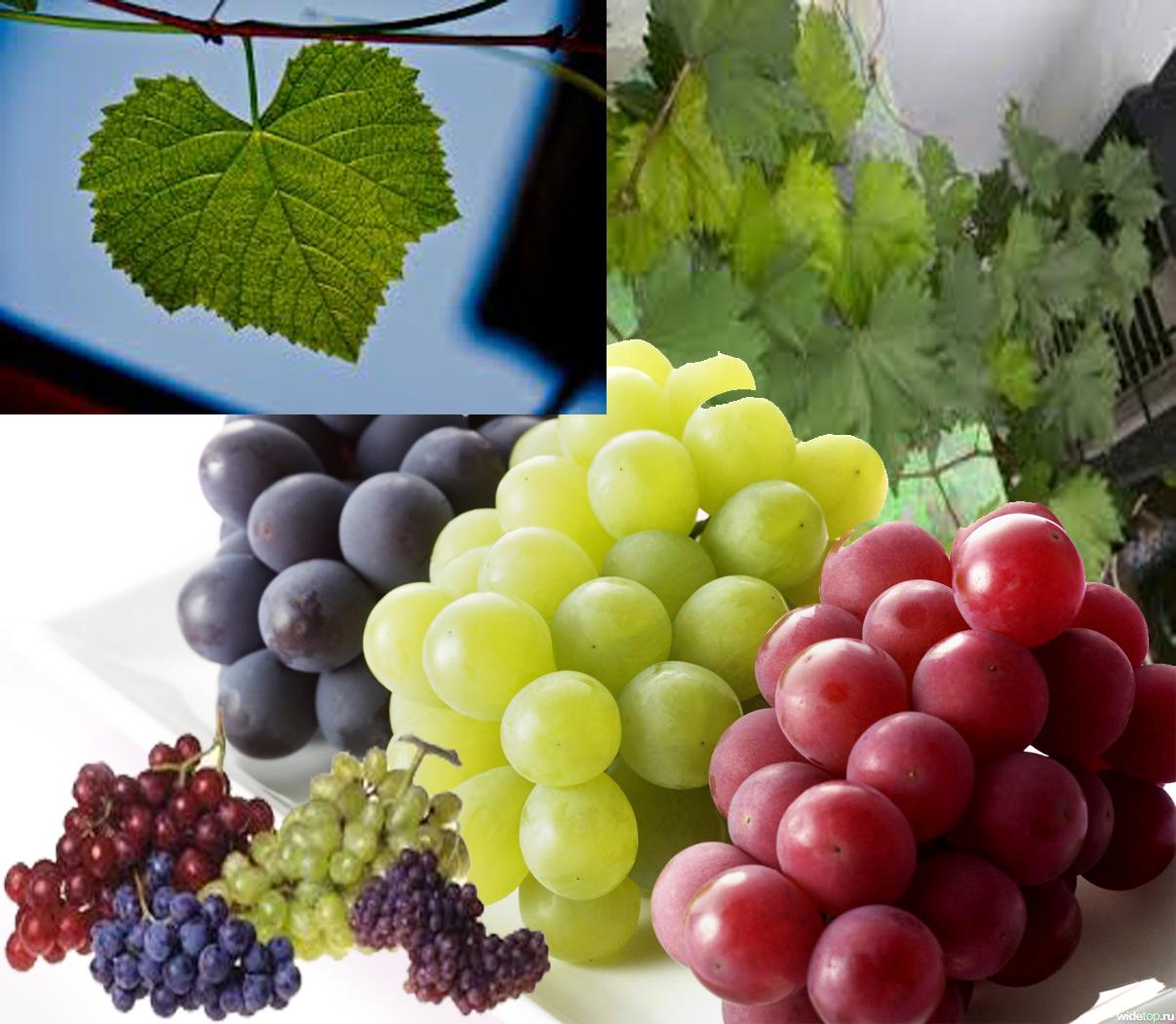 Manfaat Daun Anggur Untuk Pengobatan