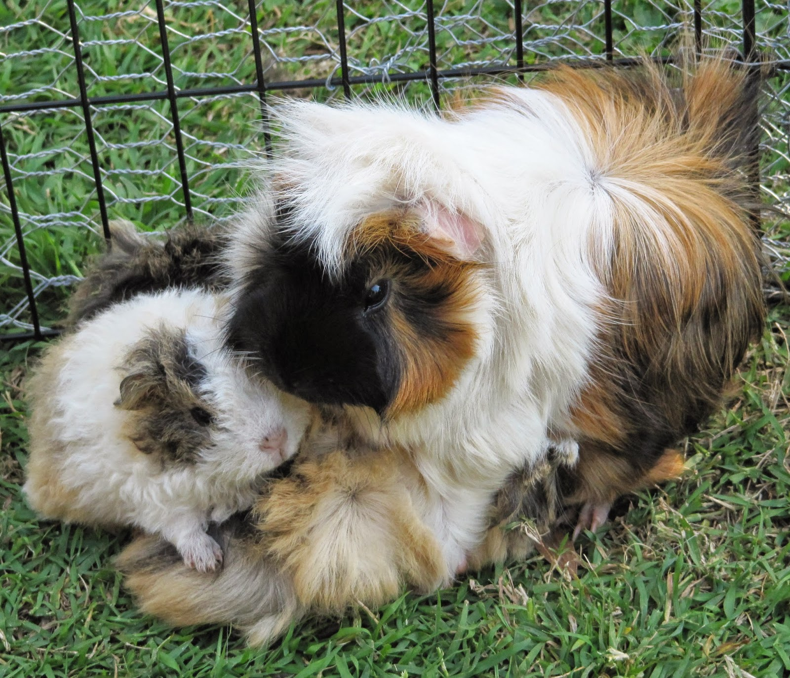Male And Female Guinea Pigs Together
