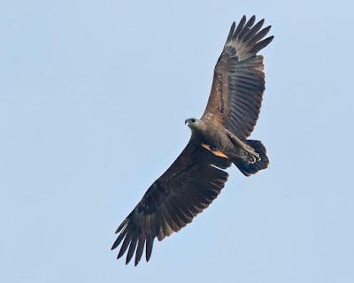 Sanford´s sea Eagle