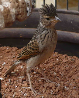 Burung Branjangan -  Mengetahui Birahi Sesungguhnya Burung Branjangan Jantan Seperti apa?