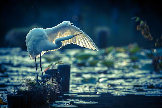 طائر البلشون الأبيض IMG_8457-2-57a993ce7112b__880