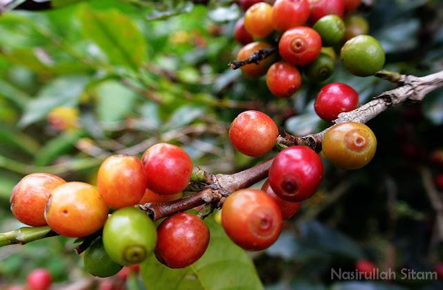 Salah satu pohon kopi yang subur