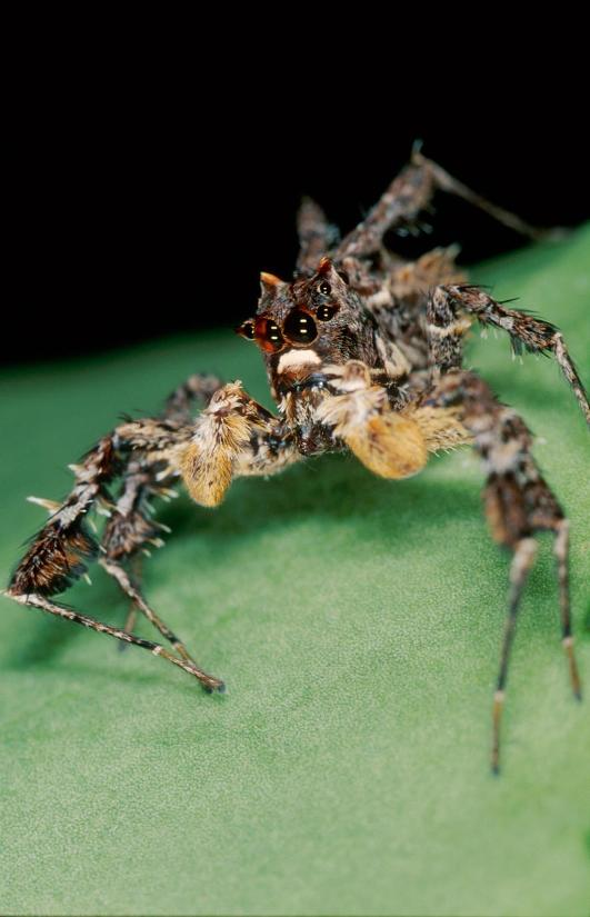 A male Portia africana. In a recent experiments, the spiders were adept at finding prey by using detours