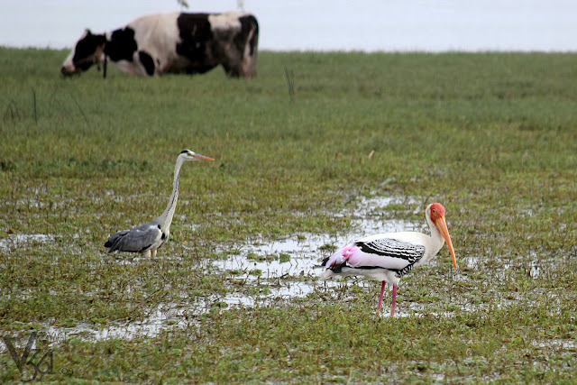 Painted Stork along with Gray Heron(left)