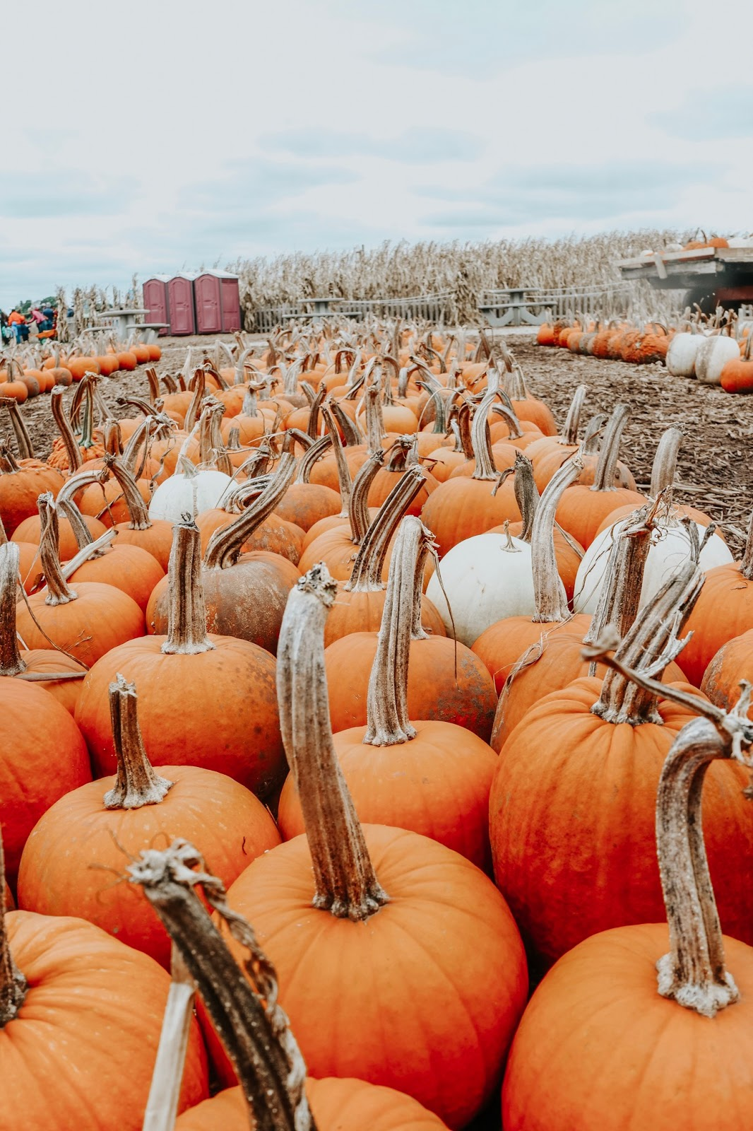 Pumpkin patch at Schuster's Farm in Deerfield, Wisconsin