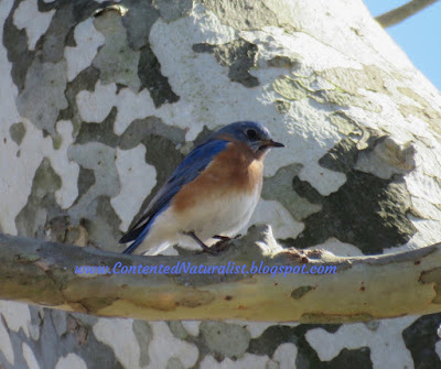 A male Eastern Bluebird sits on a twig, with the patchy bark of a Sycamore tree behind it