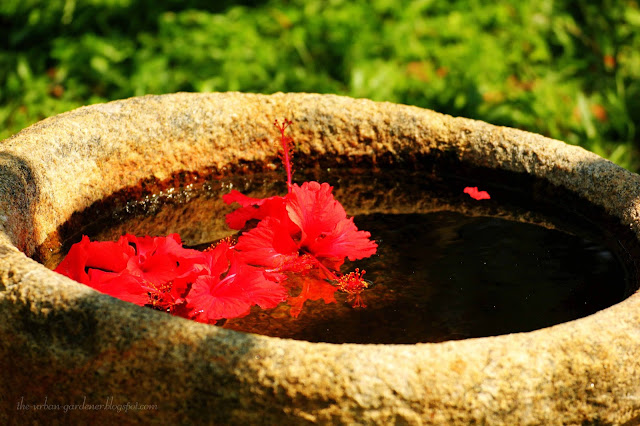 The Urban Gardener | stone trough with hibiscus