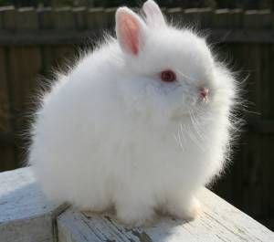Jersey Wooly Rabbit information