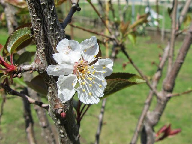 Fiore  biricoccolo o susinococco