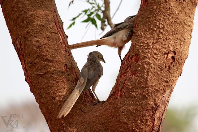 Large Gray Babbler(27-28 cm)