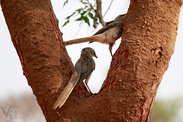Large grey babblers seen flipping the muddy layer on the tree in-search of insects