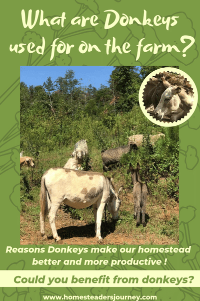 Donkeys are good for a homestead for many reasons! Easy to care and multipurpose! Some uses for donkeys you may know about, but some you may not. Could donkeys be useful on your homestead? #donkeys #homesteader #donkeycare