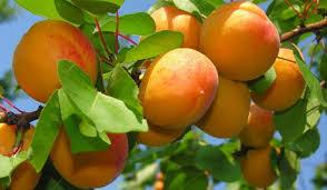 Αργολίδα: Μειωμένη 60% η παραγωγή φέτος στα βερίκοκα