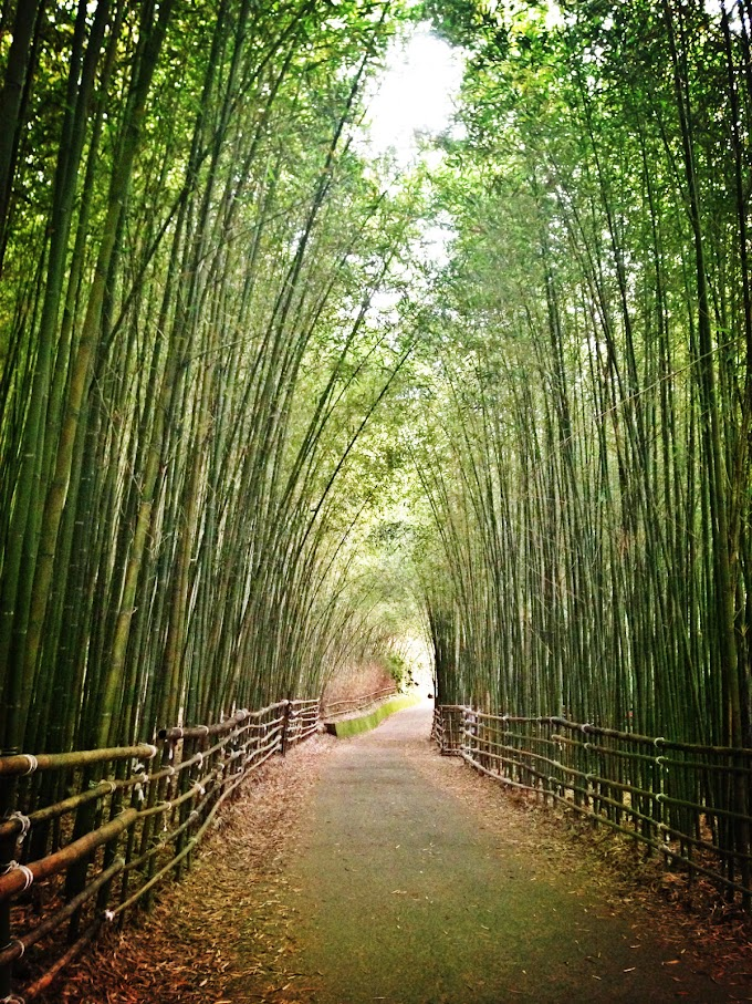 台灣苗栗【泰安】竹林秘境~打卡熱門地點 不常見的一大片竹林 烏嘎彥方向