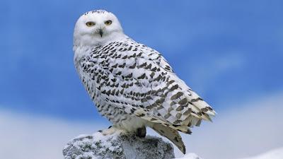 Resultado de imagem para coruja das neves na neve