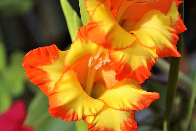 gladiolus-red%2Band%2Byellow.jpg