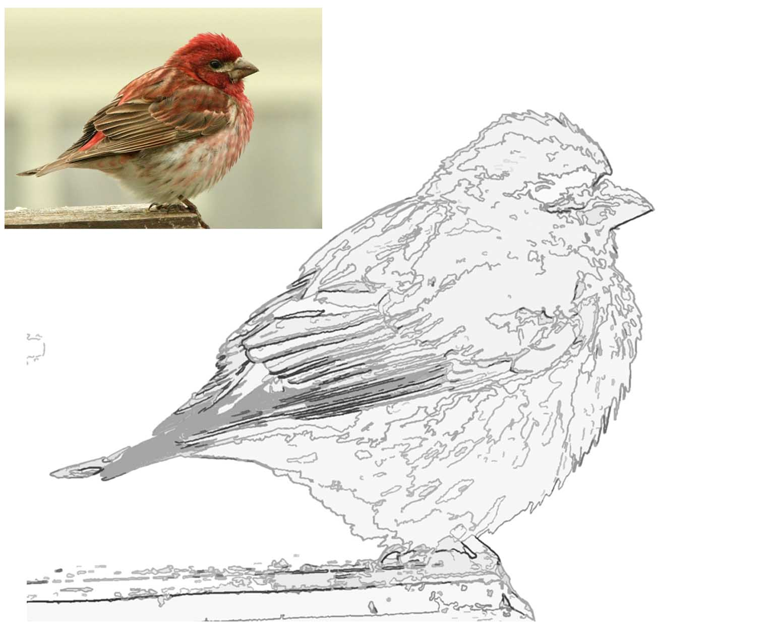Birding with lisa de leon fledging a child to bird for Finch coloring page