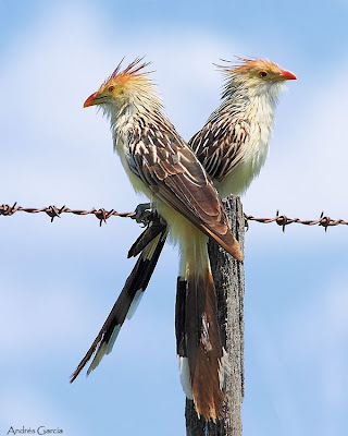 argentinian cuckoos