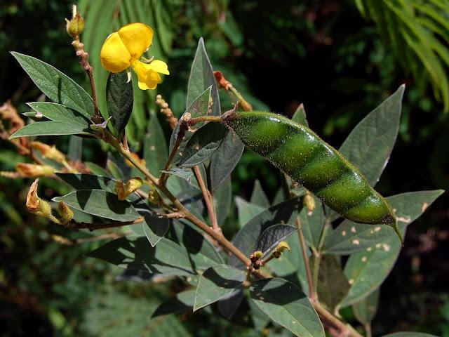 Kacang Gude Ternyata Juga Bisa dimanfaatkan sebagai Obat Herbal!