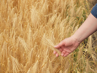 Karcag research center project to produce heartier wheat