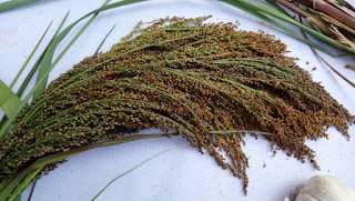 Harvested panicles of Little Millet