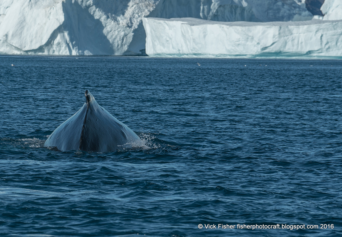 greenland iceberg humpback whale seagull beauty beautiful spectacular pristine nature wilderness natural sea ilulissat travel adventure tourism tour vacation traveler traveling boat ice ocean bay cold freezing