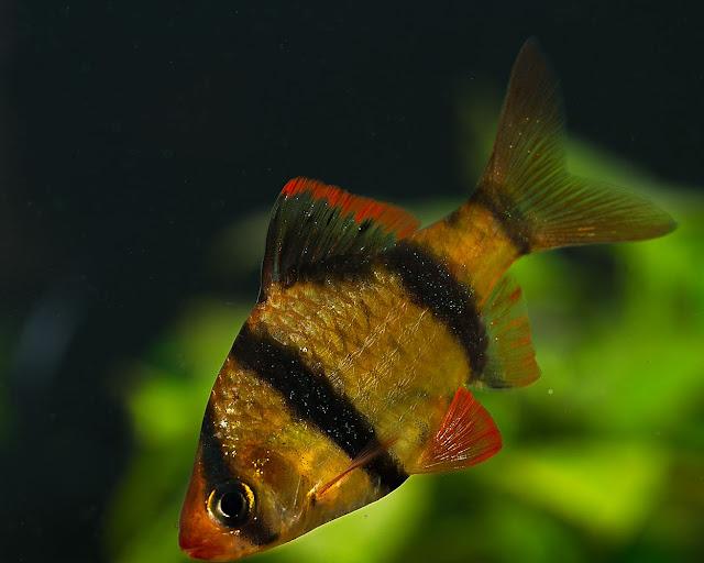 Sumatrabarbe