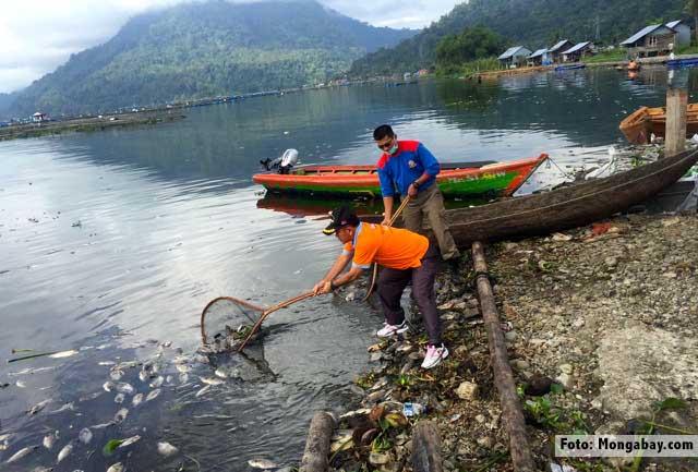 Warga menjaring ikan yang mabok karena belerang di Danau Ranau