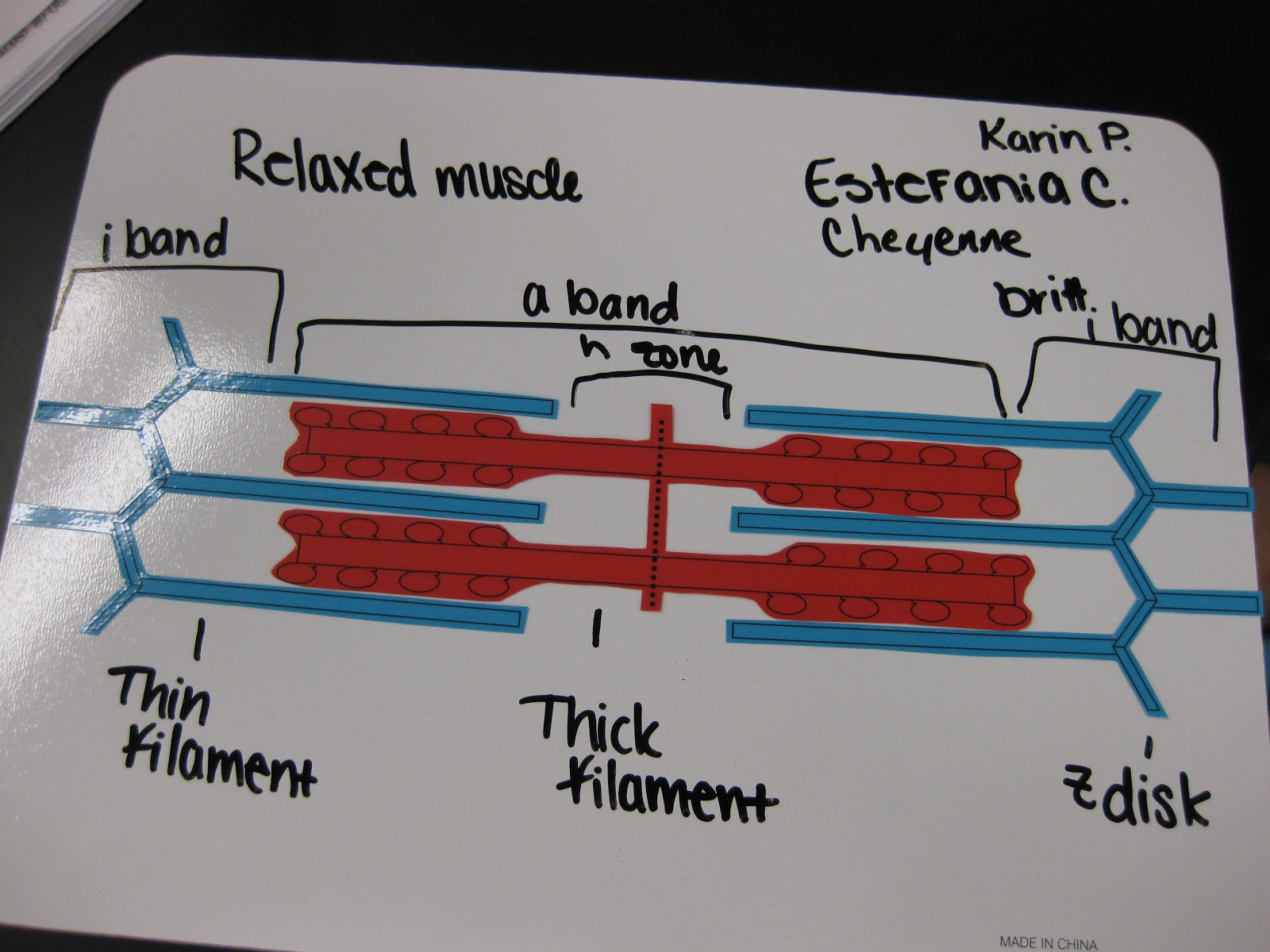 What Did You Do Today At School Muscle Contraction Modeling