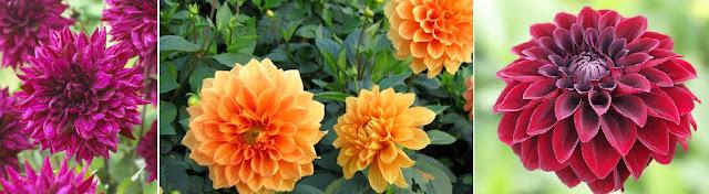 Dekor&Mentha Ragyogó Dália Kollekció virággumó