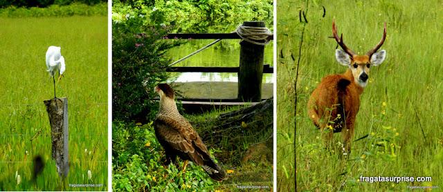 Férias de julho Brasil - garça, carcará e veado campeiro: fauna do Pantanal do Mato Grosso