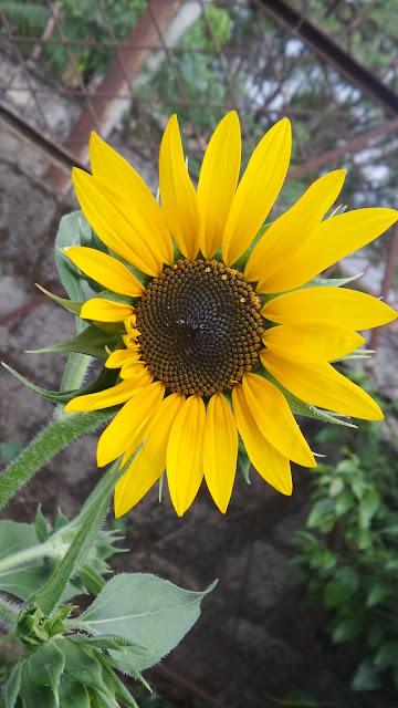 Burpee's Autumn Beauty mix sunflower