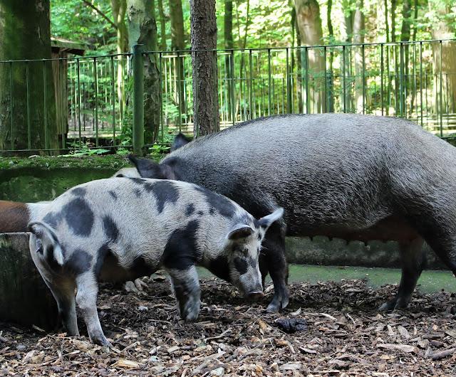 Tierpark Gera Schweine