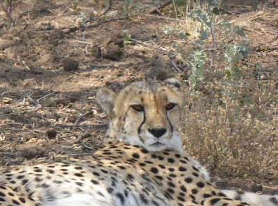 primo piano di un ghepardo al Cheetah conservation fund