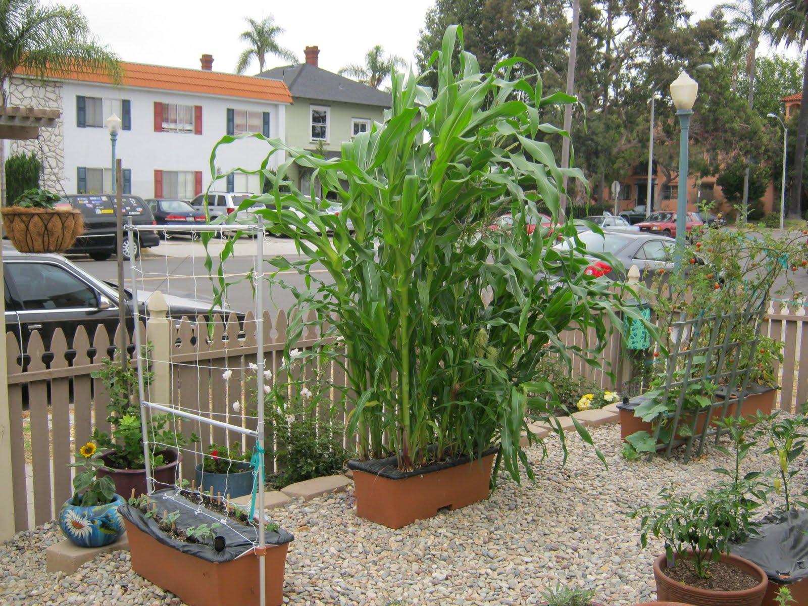 Gidget's Garden: Pollinating Corn