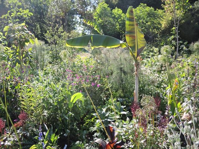 Staudenbeet mit Banane in Hunting Brook Gardens