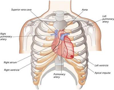 Posisi jantung