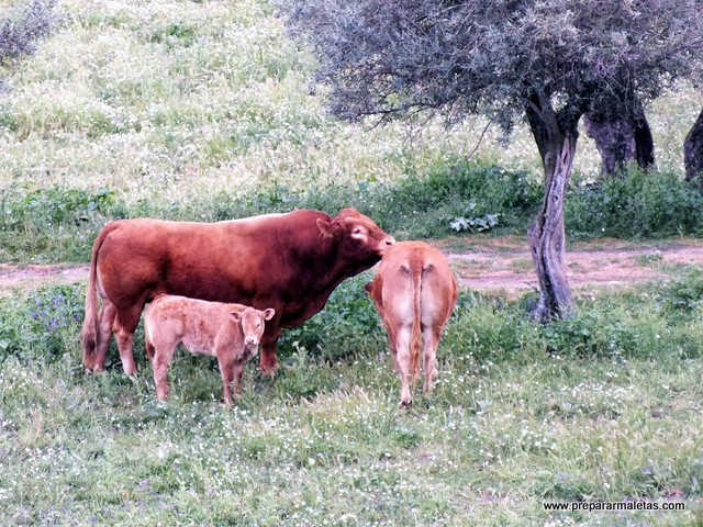 vacas en el escorial