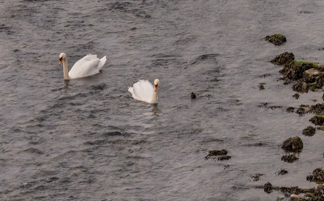 A poor quality photo of the swans on the River Ellen this morning (I was too far away)