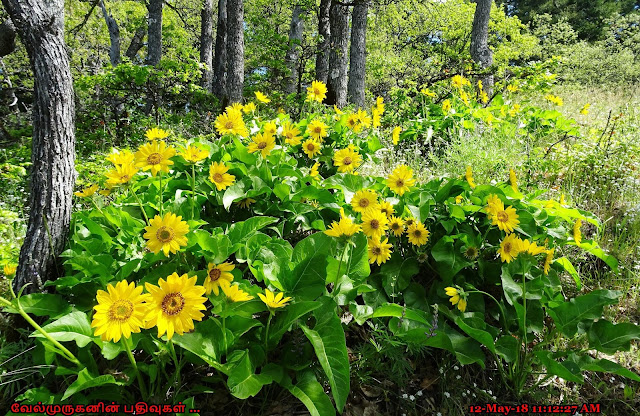 Arrowleaf balsamroot Hike