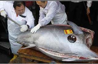 Harga Ikan Tuna Termahal Di Dunia