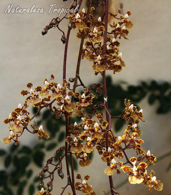 Ramillete de flores dela orquídea Oreja de Burro, Trichocentrum undulatum