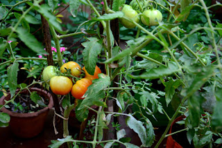 tomato plant-Kitchen garden