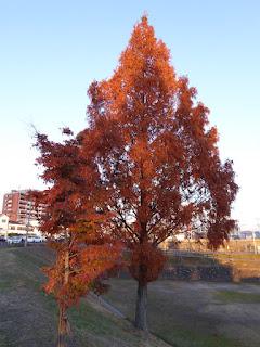 打上川治水緑地・モミジとメタセコイアの紅葉