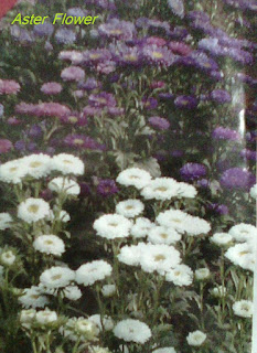 Aster seasonal flower seeds