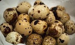 pakan kenari - telur puyuh