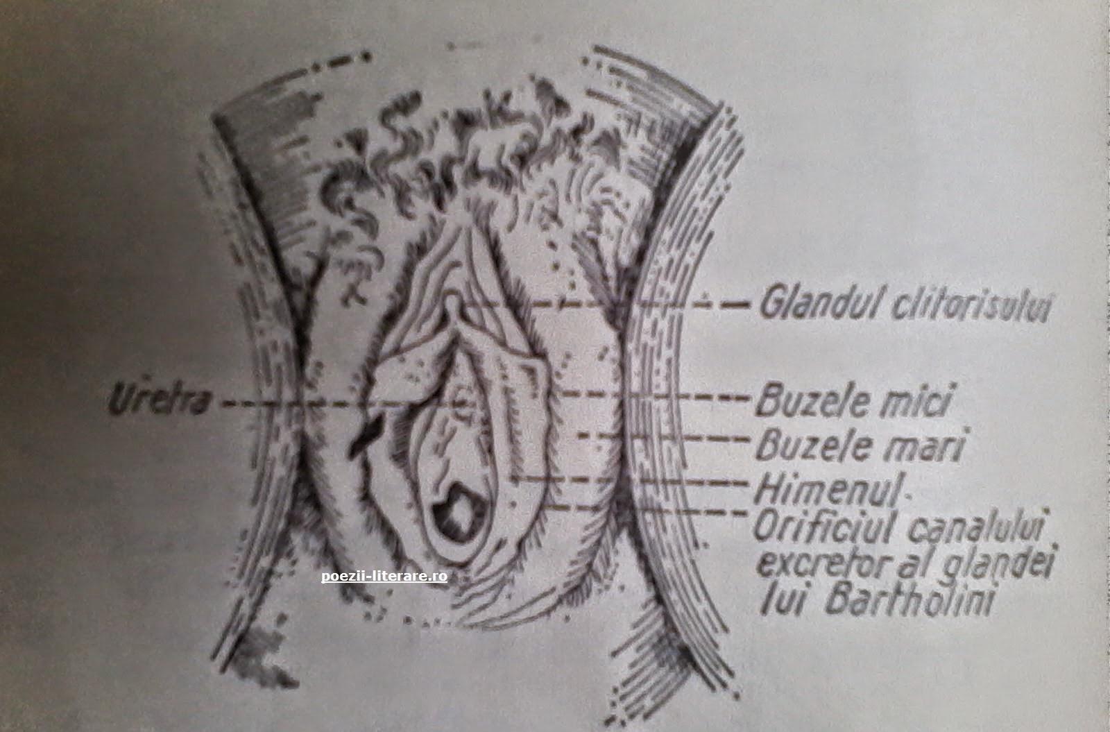 Organele sexuale feminine