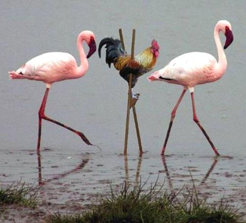 flaminggo dan ayam