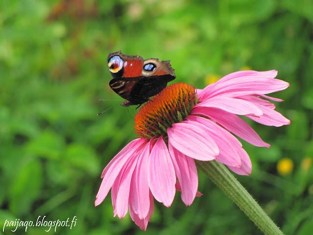 perhonen kesä
